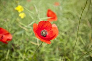 mexborough poppy sm.jpg