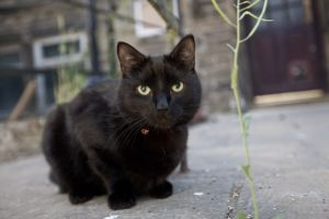 black cat haworth sm.jpg