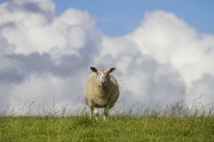 haworth colne moor sheep 1 sm.jpg