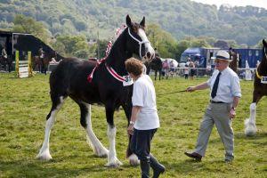 shire_horse_316_sm.jpg